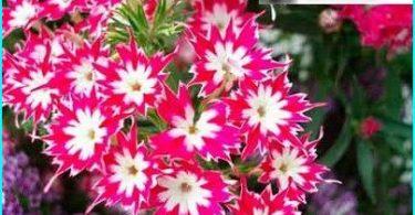 Vi vokser phlox: vokser fra frø, plante våren + omsorg