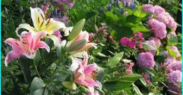 Liljer i landskapet design: alternativer planting, utvalg av varianter